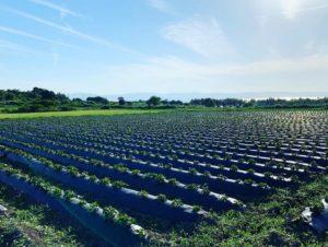 八千代伝酒造 芋畑